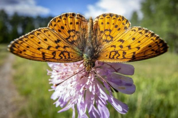 The National Wales: A small-pearl-bordered fritillary - one of the butterfly species that thrives in properly managed rhos pasture